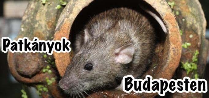 Budapest patkány